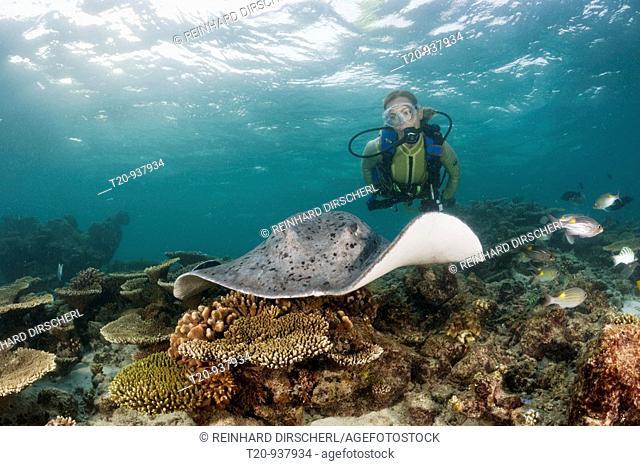 Blackspotted Stingray and Diver, Taeniura meyeni, Ellaidhoo House Reef, North Ari Atoll, Maldives