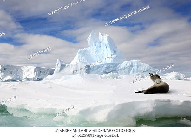 Leopard Seal (Hydrurga leptonyx) resting on a ice-shelf