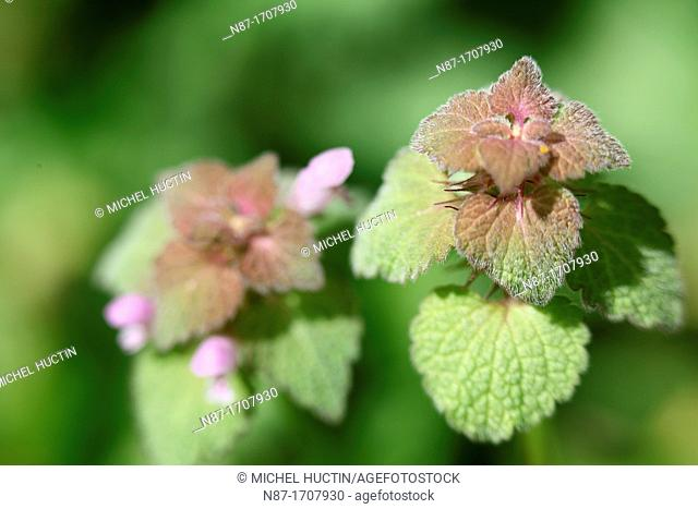Lamium Purple, Lamium album