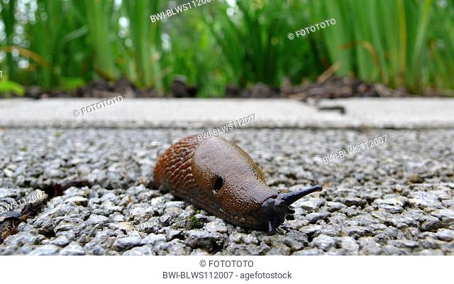 Spanish slug, Lusitanian slug Arion lusitanicus, creeping on wayside, Germany