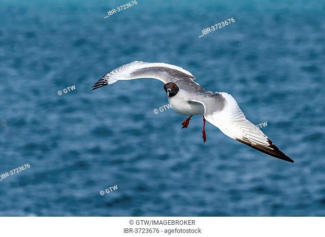 Swallow-tailed Gull (Larus furcatus syn Creagrus furcatus) in flight, South Plaza Island, Galápagos Islands, Ecuador