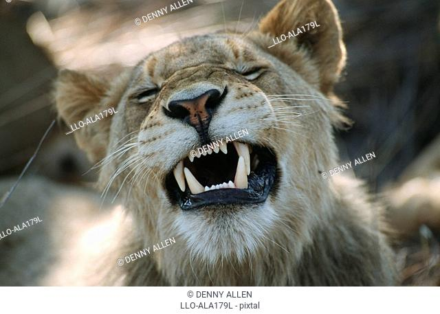 Close-up Portrait of a Juvenile Lion Panthera leo Snarling  Sabi Sands Conservancy, Mpumalanga Province, South Africa