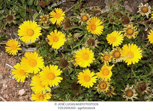Flowers, Pallenis maritima, Natural Park Cabo de Gata Nijar, Almeria, Region of Andalusia, Spain, Europe