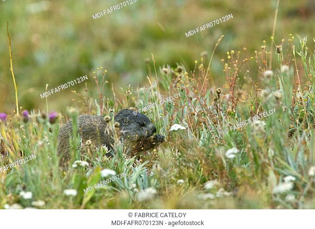 Young marmot eating in the natural regional park of Queyras