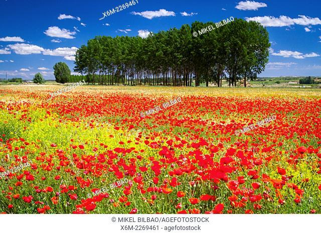 Poppy blossom in a prairie. Burgos, Castile and Leon, Spain, Europe