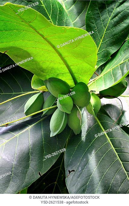 Terminalia catappa, Bengal almond tree, Africa, Mascarene, Mascarene Islands, Mascarenhas, Mauritius, Southeastern coast of Mauritius, Grand Port District