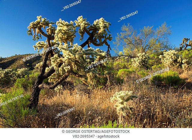Cholla, Tonto National Forest, Arizona