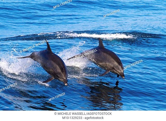 Two Off-shore Bottlenose Dolphins leaping out of the water in sync