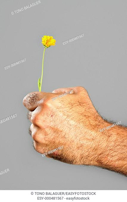 Concept and contrast of hairy man hand and spring flower fragility