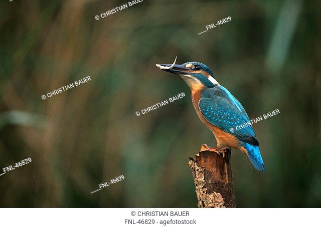 Close-up of Common Kingfisher Alcedo atthis bird on wooden post, Germany