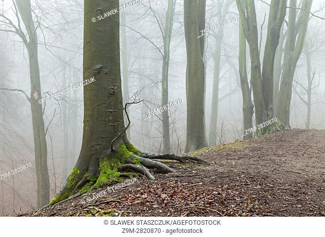 Foggy winter day in Friston Forest, South Downs National Park near Eastbourne, East Sussex, England