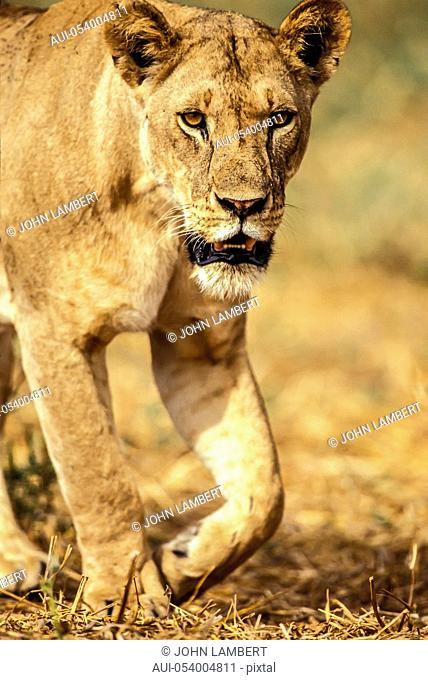 africa, tanzania, young lioness