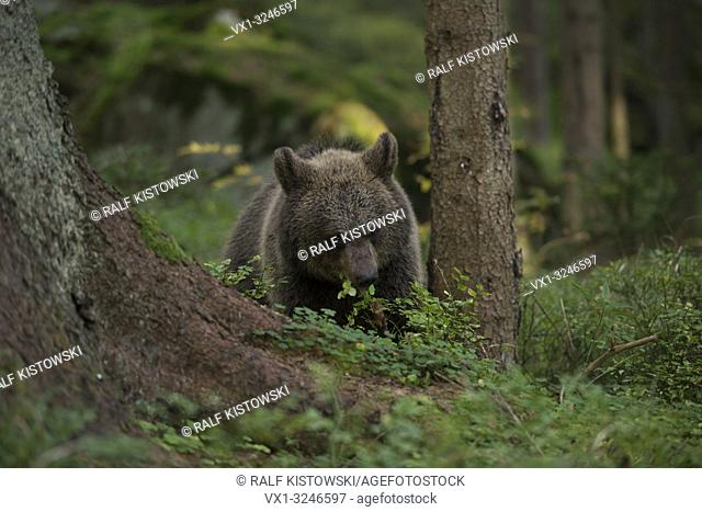Young European Brown Bear / Europäischer Braunbär (Ursus arctos ) eats blueberries in an natural wild forest