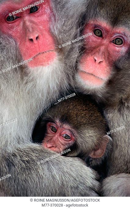 Japanese Macaque family (Macaca fuscata). Jigokudani, Honshu. Japan