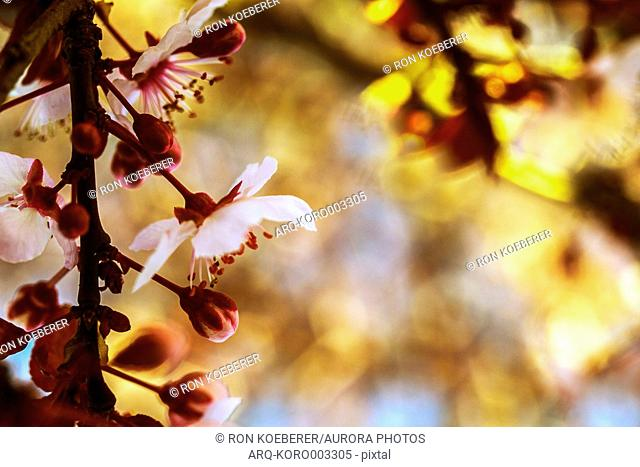 Beautiful nature photograph with close up of plum flower blossoms (Prunus mume), Windsor, California, USA