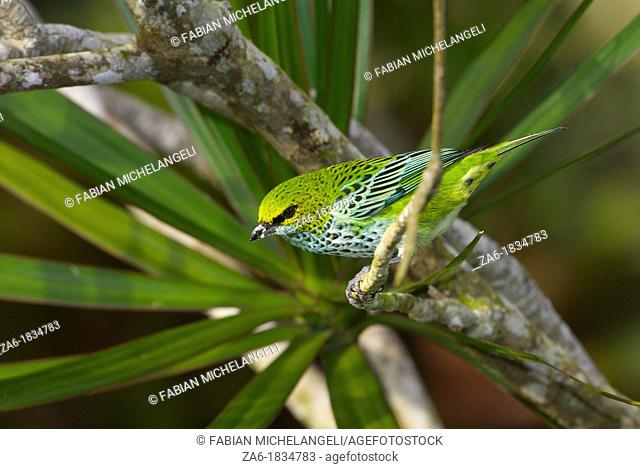 Speckled tanager Tangara guttata perched on a bush in the rain forest in Venezuela