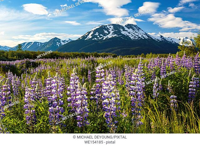Field of lupine along Turnagain Arm