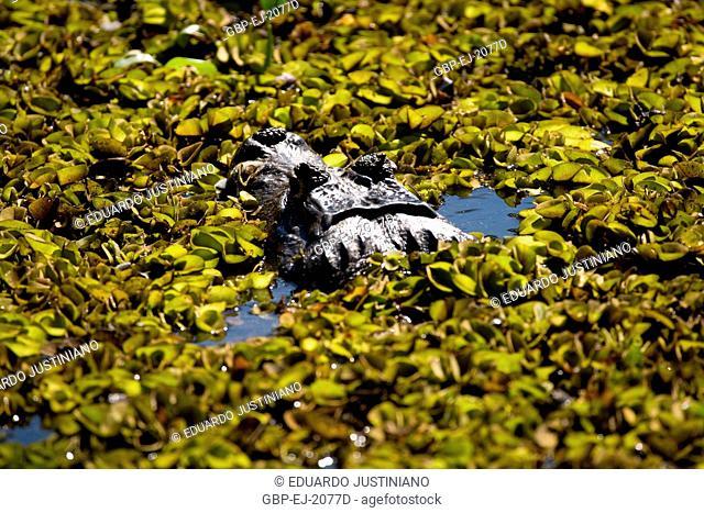 Alligator-pity-swampland (Caimam crocodilus yacare) in Corixo Covered by Batume, Brazil