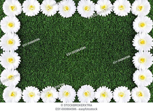Grassland background framed by fresh white chrysanthemums