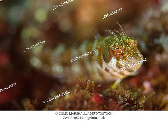 Spotted and Barred Blenny (Mimoblennius atrocinctus), Three Sisters dive site, Padar Island, Komodo National Park, Indonesia