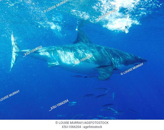 Isla Guadelupe Mexico  Great White shark diving Carcharias carcharodon  Female great white shark the male sexual organs or claspers are not present near the...