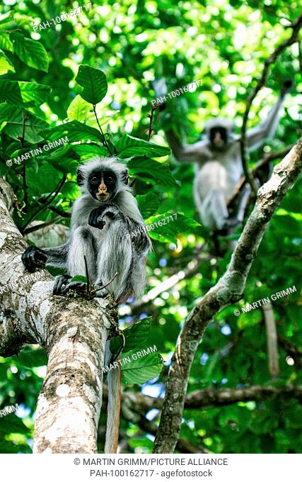 Zanzibar Red Colobus (Piliocolobus kirkii) two sitting in rainforest canopy, Jozani Chwaka Bay National Park, Zanzibar, Tanzania | usage worldwide