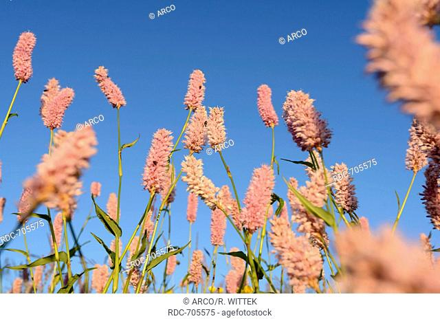 Bistort (Polygonum bistorta), Vosges mountains, Mountain Hohneck, Europe, France