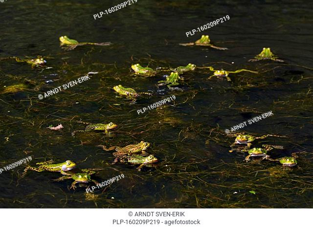 Edible frogs / common water frog / green frog (Pelophylax kl. esculentus / Rana kl. esculenta) group of males and females floating in pond in the mating season