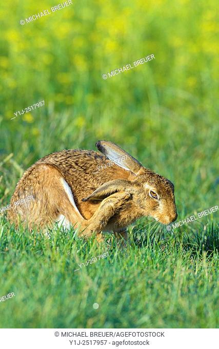 European Brown Hare (Lepus europaeus), Summer, Hesse, Germany, Europe
