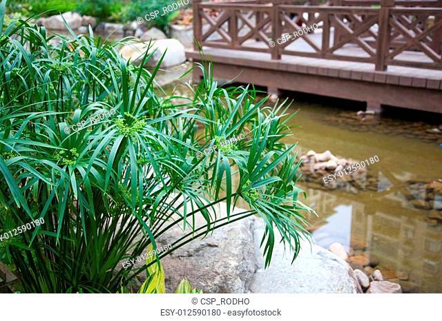 Cyperus alternifolius in garden