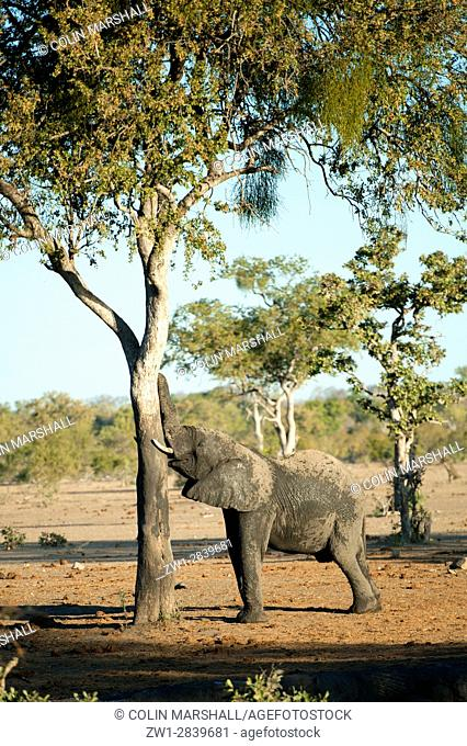 Elephant (Loxodonta africana) scratching on tree, Talamati Bushveld Camp, Kruger National Park, Transvaal, South Africa