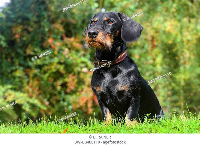 Wire-haired Dachshund, Wire-haired sausage dog, domestic dog (Canis lupus f. familiaris), black and tan nineteen months old male dog sitting in a meadow