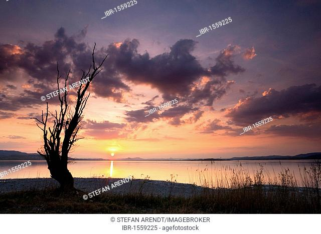 Old tree in backlight at sunset on Lake Constance, Reichenau island, Baden-Wuerttemberg, Germany, Europe