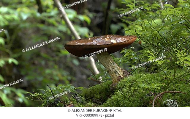 Rain in the forest: drops of rain fall on the mushroom's head, medium shot