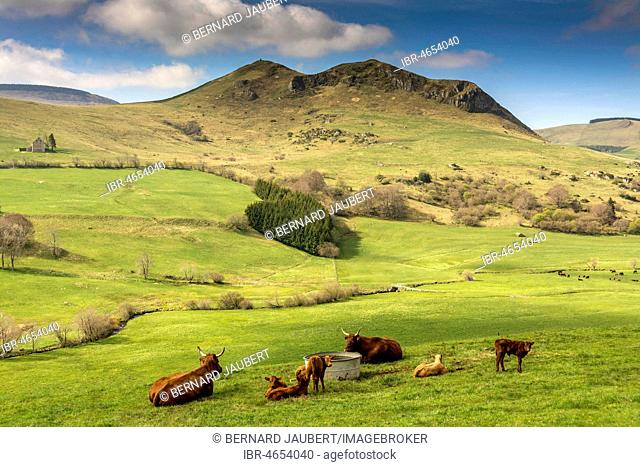 Cows on pasture and mountain of Chabrut, Cezallier massif, Puy de Dome department, Auvergne, France