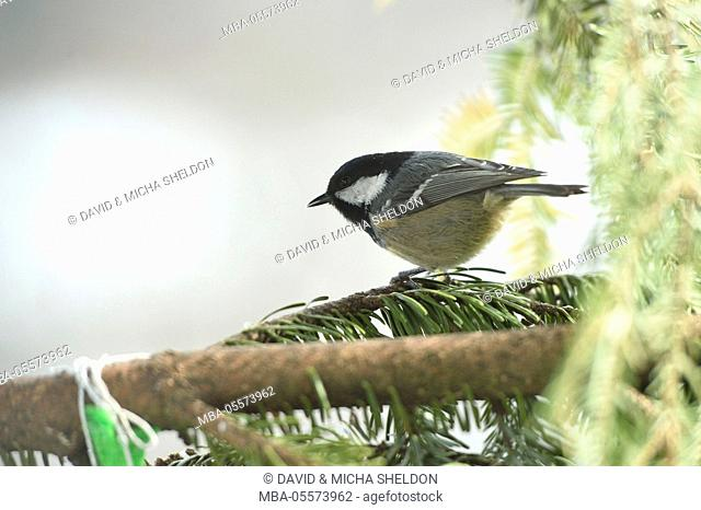 Coal tit, Periparus ater, branch, side view, perching