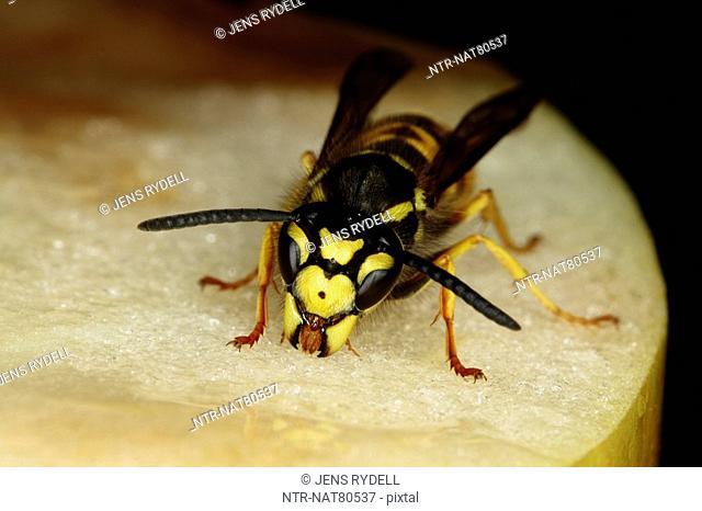 Wasp, close-up