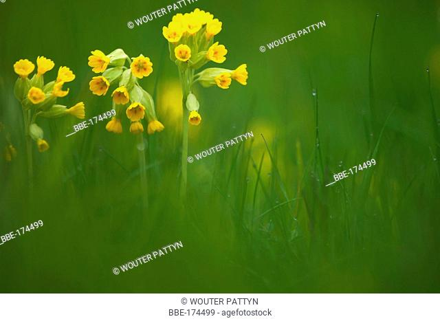 Cowslip in a meadow
