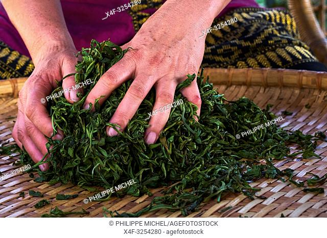 China, Yunnan, Xishuangbanna district, drying and rolling tea leaves of Pu'er tea