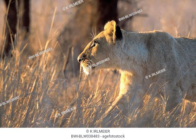lion Panthera leo, female lion, South Africa