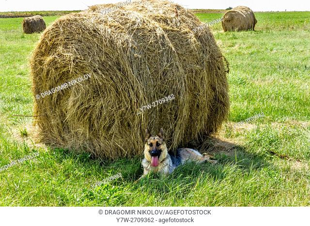German Shepherd guards bales in rural field. The photo is taken in Gorna Malina village, which is situated in Bulgaria, Europe