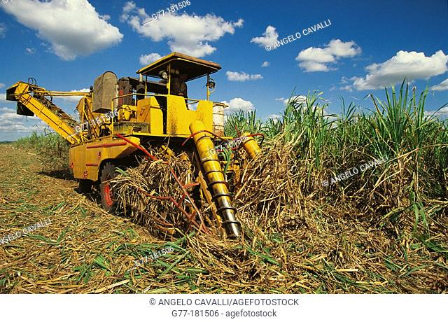 Sugar cane harvest. Cuba