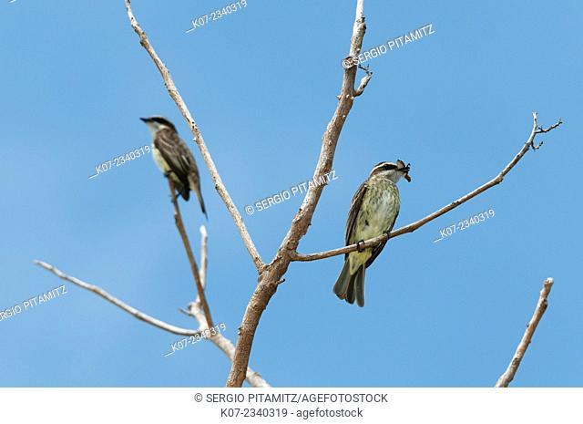 Streaked Flycatcher (Myiodynastes maculatus),