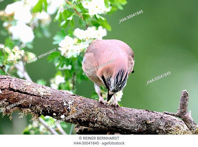 Jay, forester of the wood, Garrulus glandarius, Häher, Markwart, raven birds, songbirds, sparrow's birds, bird, birds, forest birds