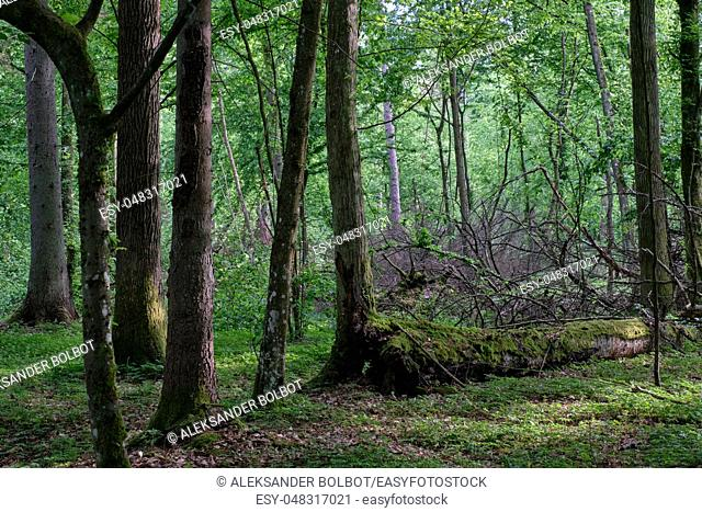 Deciduous stand with hornbeams and oak in springtime sunset, Bialowieza Forest, Poland, Europe