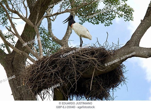 Tuiuiú (Jabiru mycteria), Stork, Ciconiidae, Brazil