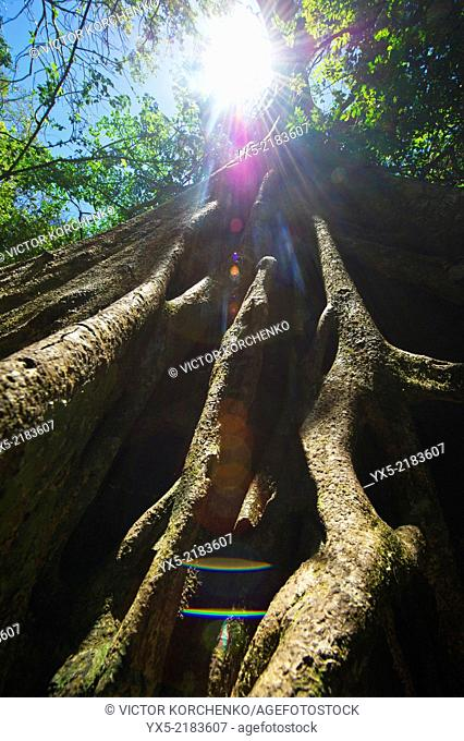 Roots of giant buttress tree (Ceiba tree), Costa Rica