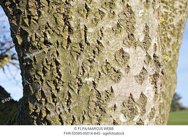 White Poplar Populus alba close-up of bark, Wickham Skeith, Suffolk, England, october