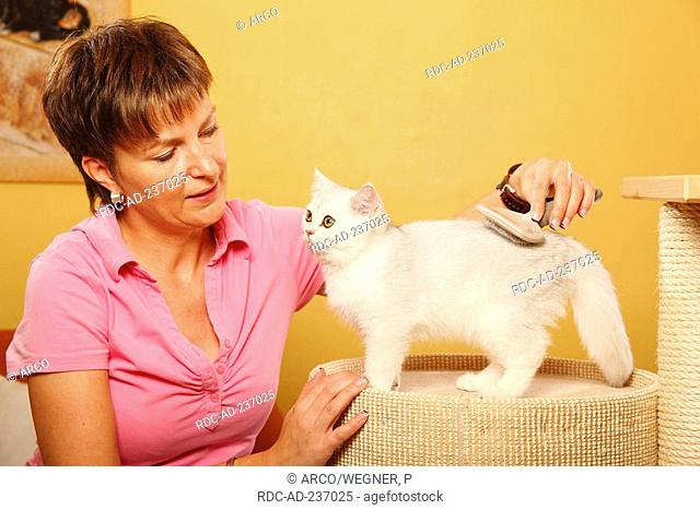 Woman brushing British Shorthair Cat, silver-shaded