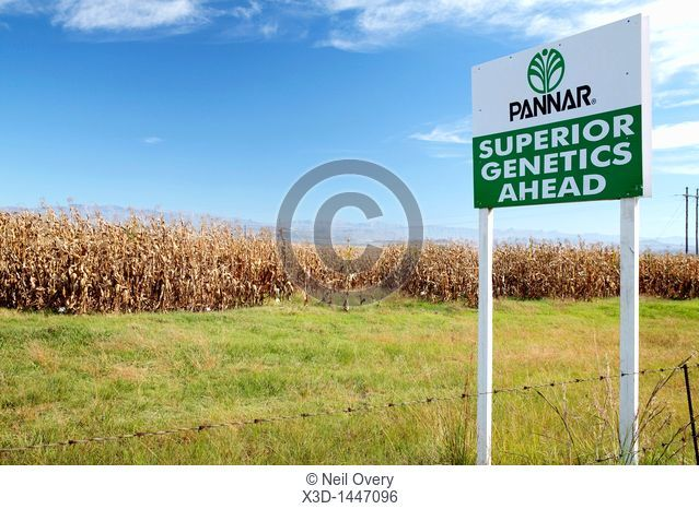 Trial of Genetically Modified Maize Corn Crop, nr Winterton, Kwa-Zulu Natal, South Africa